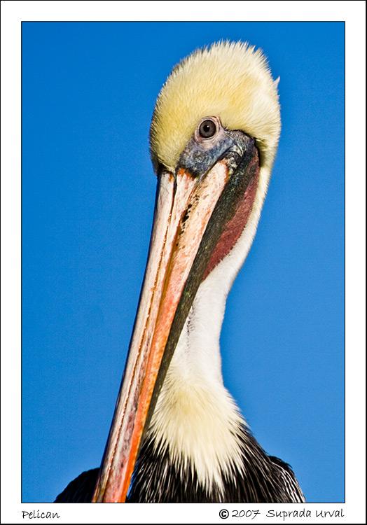 Pelican Mugshot\