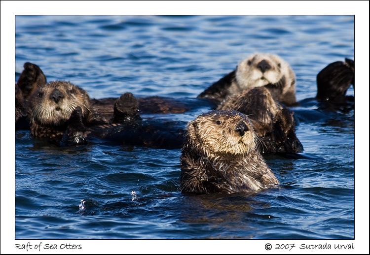 Sea Otters\