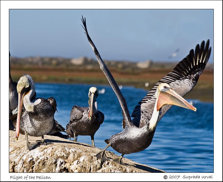 Flight of the Pelican\