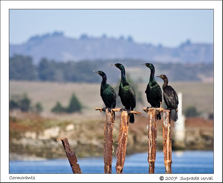 The Cormorants\
