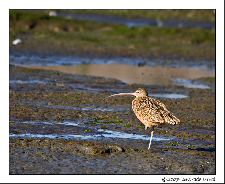 Long-Billed Curlew\