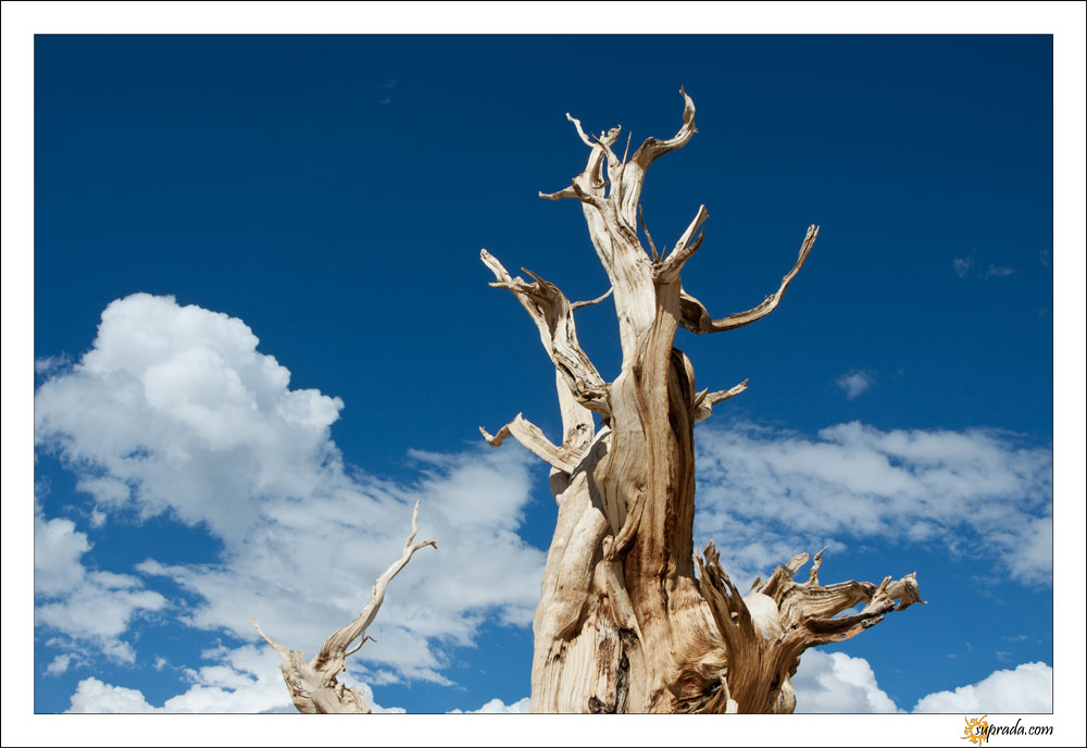 Bristlecone Pine and Blue Skies