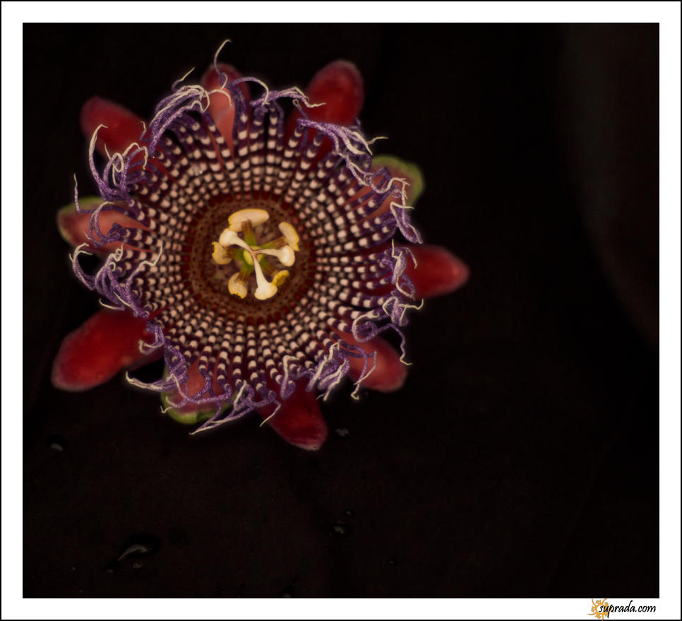 Passion Flower - 3