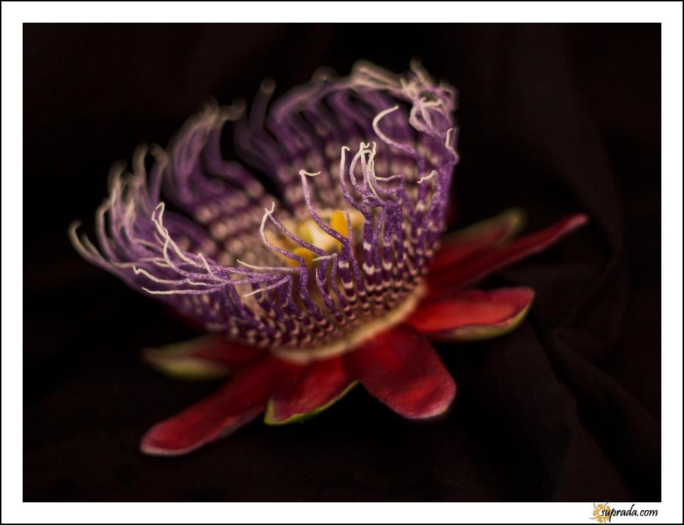 Passion Flower - 1